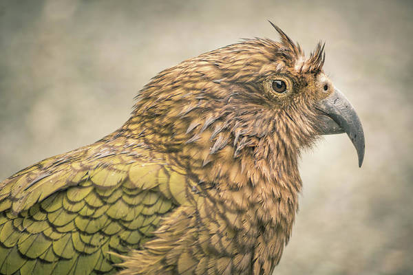 Photograph - The Kea by Racheal Christian