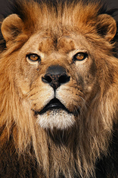 Photograph - The King Of Pride  by Emmanuel Panagiotakis