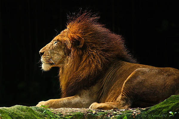 Photograph - The King by Peter Kennett