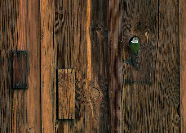 Violet-green Swallow Photograph - The Knothole 2 by George Sanquist