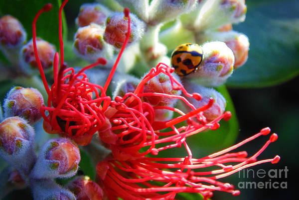 Pohutukawa Photograph - The Ladybug And The Flower by Trudee Hunter