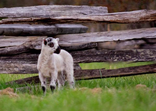 Photograph - The Lamb by Buddy Scott