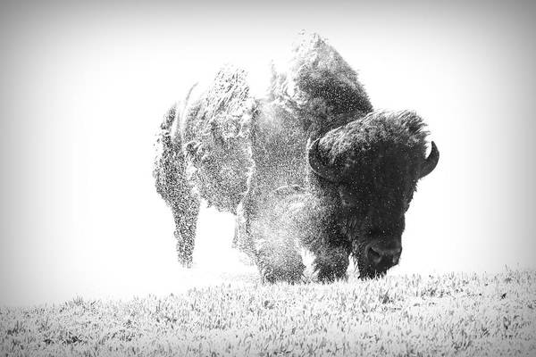 Photograph - The Last Bison by Dan Sproul