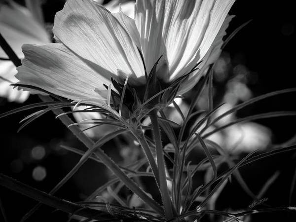 Photograph - The Last Cosmos by Donna Lee