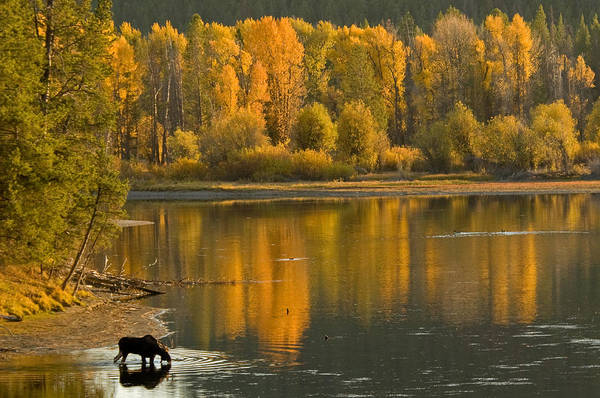 Bull Moose Photograph - The Last Light Of Day by Sandy Sisti