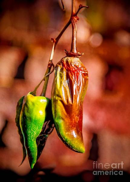 Photograph - The Last Peppers by Jim DeLillo