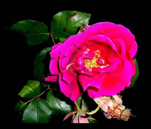 Photograph - The Last Rose - Of Summer by VIVA Anderson