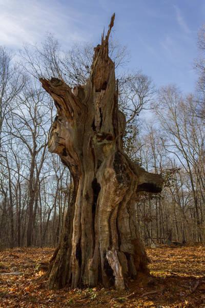 Photograph - The Ledyard Oak by Kirkodd Photography Of New England
