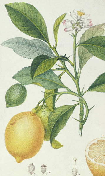 Organic Drawing - The Lemon Tree by Pierre Jean Francois Turpin