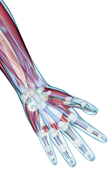 Human Hand Photograph - The Ligaments Of The Hand by MedicalRF.com