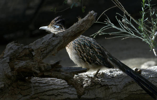 Greater Roadrunner Photograph - The Light by Fraida Gutovich