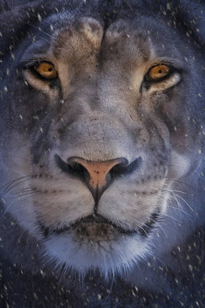 Lion In Winter Photograph - The Lion In Winter by Mitch Spence