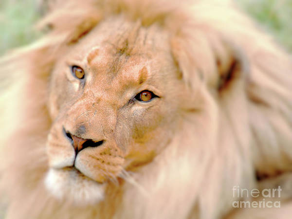 Photograph - The Lion King . R8581 by Wingsdomain Art and Photography