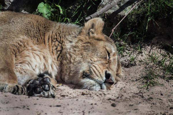 Photograph - Sleeping Lion by Doc Braham