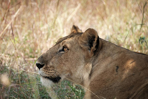 Photograph - The Lioness by Mary Lee Dereske