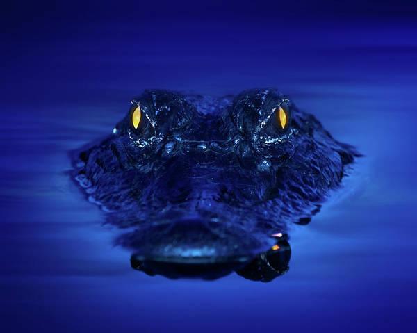 Gator Photograph - The Littlest Predator by Mark Andrew Thomas