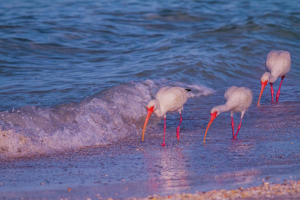 White Ibis Wall Art - Photograph - The Locals by Betsy Knapp