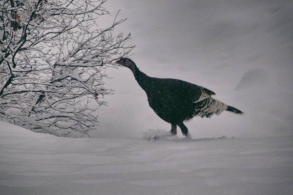 Photograph - The Lone Turkey by Jason Coward