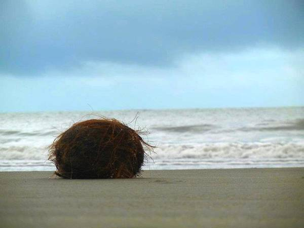 Photograph - The Lonely Coconut by Jenny Regan