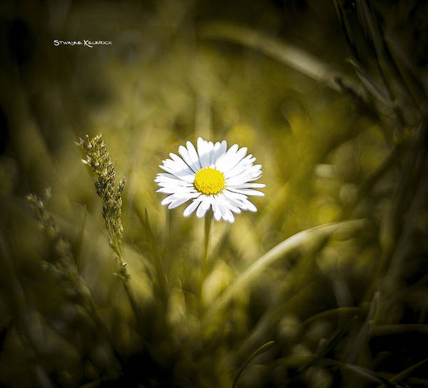 Photograph - The Lonely Daisy by Stwayne Keubrick