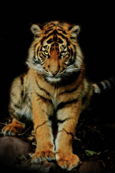 Big Cat Wall Art - Photograph - The Look by Animus Photography