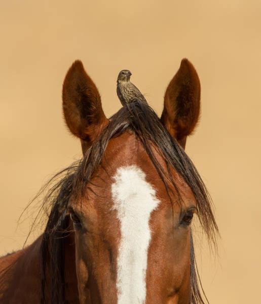 Cowbird Photograph - The Lookout by Kent Keller
