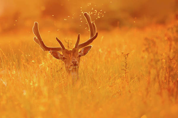 Dama Dama Photograph - The Lord Of The Flies - Male Fallow Deer Shaking Of Mosquitoes At Sunset by Roeselien Raimond