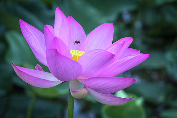 Photograph - The Lotus And The Bee by Cindy Lark Hartman
