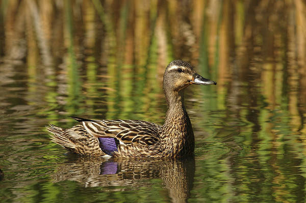 Photograph - The Lovely Ms. Mallard by Sharon Talson