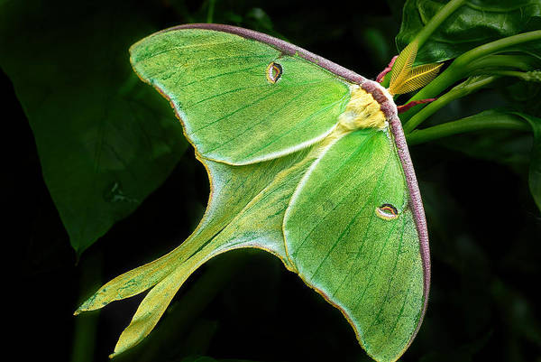 Photograph - The Luna Moth by Dick Pratt