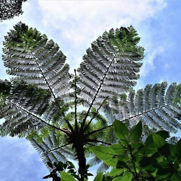 Holidays Mixed Media - Large Queen Fern - Puerto Viejo, Costa by In My Click Photography