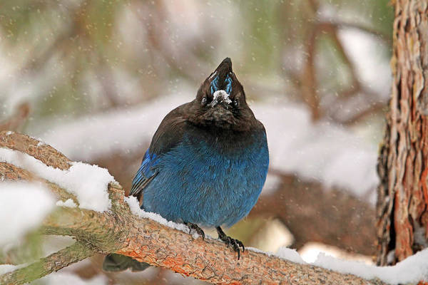 Blue Jay Photograph - The Mad Blue Jay by Donna Kennedy