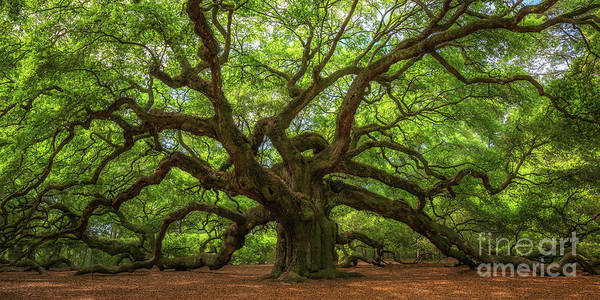 Big Island Photograph - The Magical Angel Oak Tree Panorama  by Michael Ver Sprill
