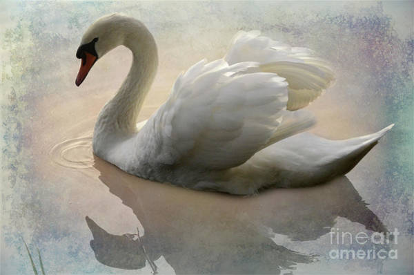 Swan Photograph - The Magical Swan  by Bob Christopher