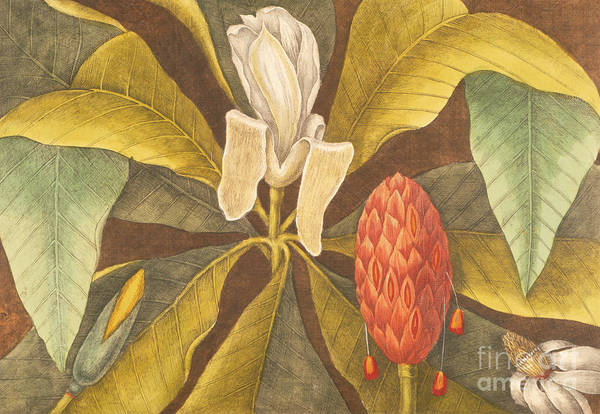 Wall Art - Painting - The Magnolia by Mark Catesby