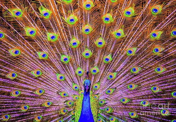 The Majestic Peacock Art Print