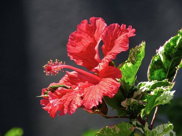 The Mallow Hibiscus Art Print