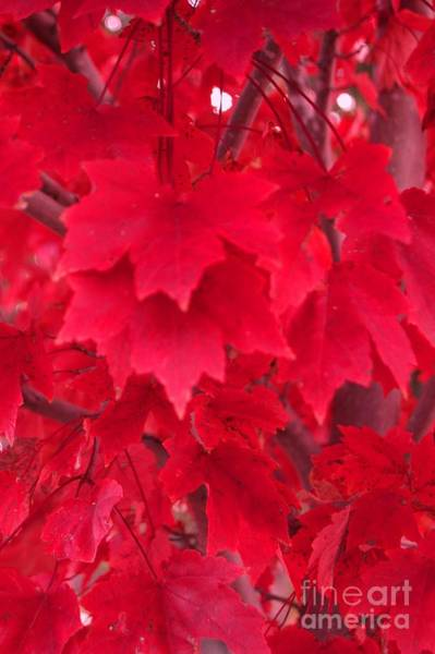 Photograph - The Maple Leaves by Donna Bentley