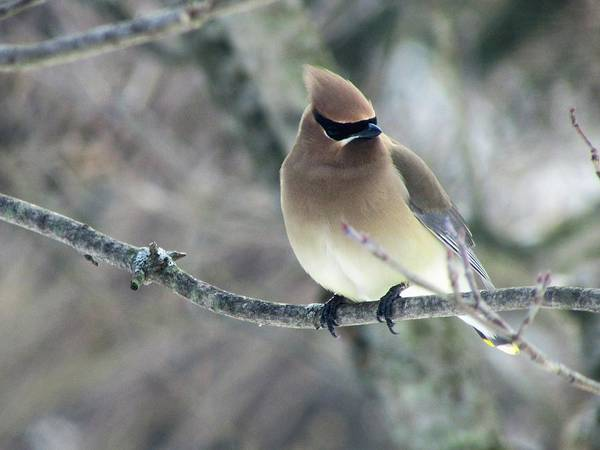 The Masked Cedar Waxwing Art Print
