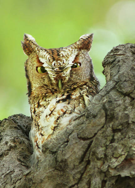 Screech Owl Photograph - The Master Of Camouflage by Mircea Costina Photography