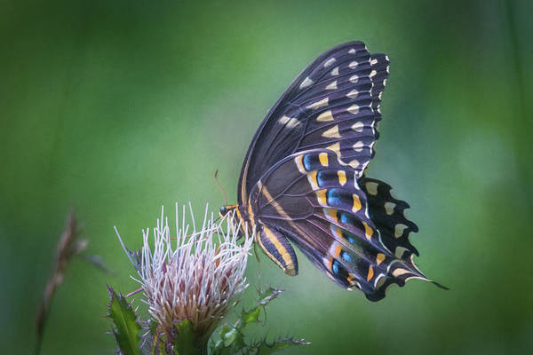 Photograph - The Mattamuskeet Butterfly by Cindy Lark Hartman