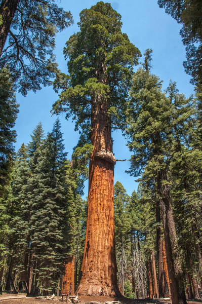 Photograph - The Mckinley Giant Sequoia Tree Sequoia National Park by NaturesPix