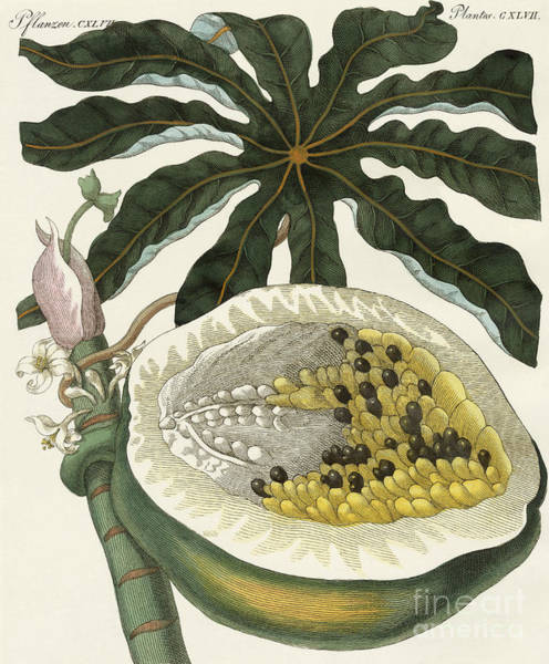 Organic Drawing - The Melon Or Papaya Tree by German School