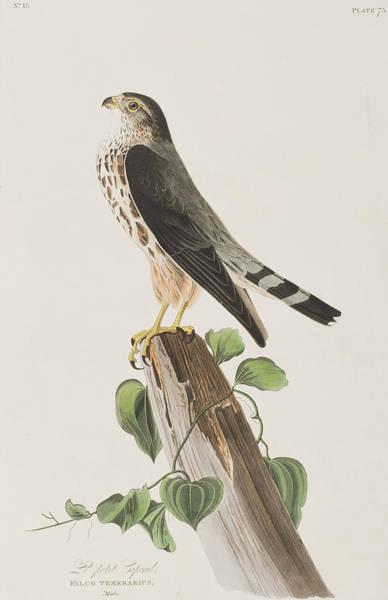 Wall Art - Painting - The Merlin by John James Audubon
