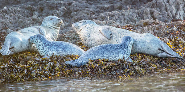 Seal Photograph - The Momma's Club by Betsy Knapp