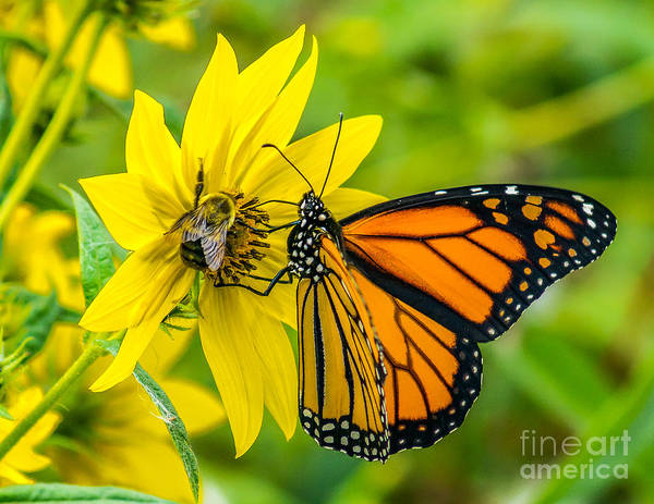 Wall Art - Photograph - The Monarch And The Bee by Nick Zelinsky