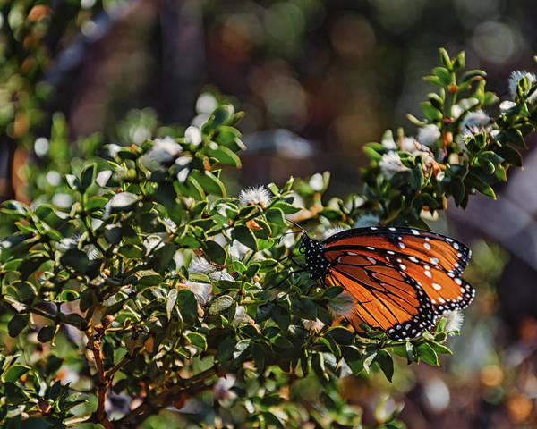Photograph - The Monarch by Daryl Clark