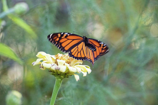 Photograph - The Monarch Has Arrived by Brian Hale
