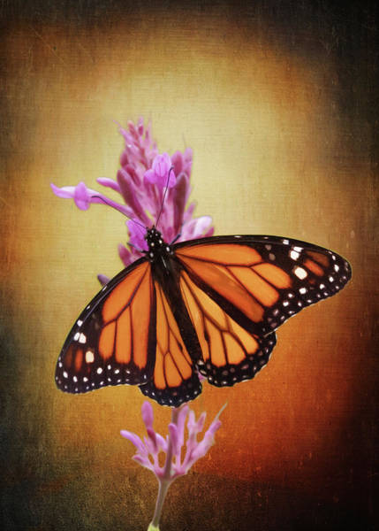 Photograph - The Monarch by Susan Rissi Tregoning