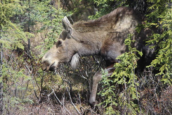 Photograph - The Moose by Tony Mathews